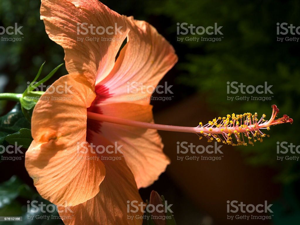 hibiscus rosa-sinensis royalty-free stock photo