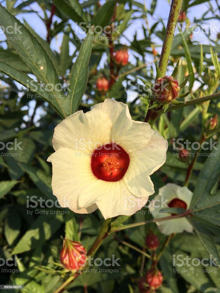 Hibiscus Sabdariffa Flower Stock Photo More Pictures Of