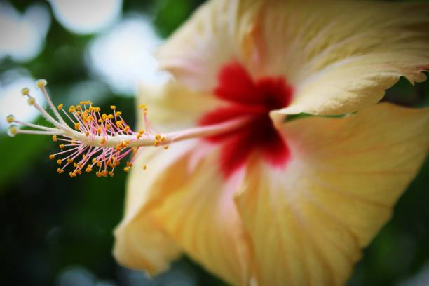 Top 30 Hibiscus Plant Stock Photos Pictures And Images Istock