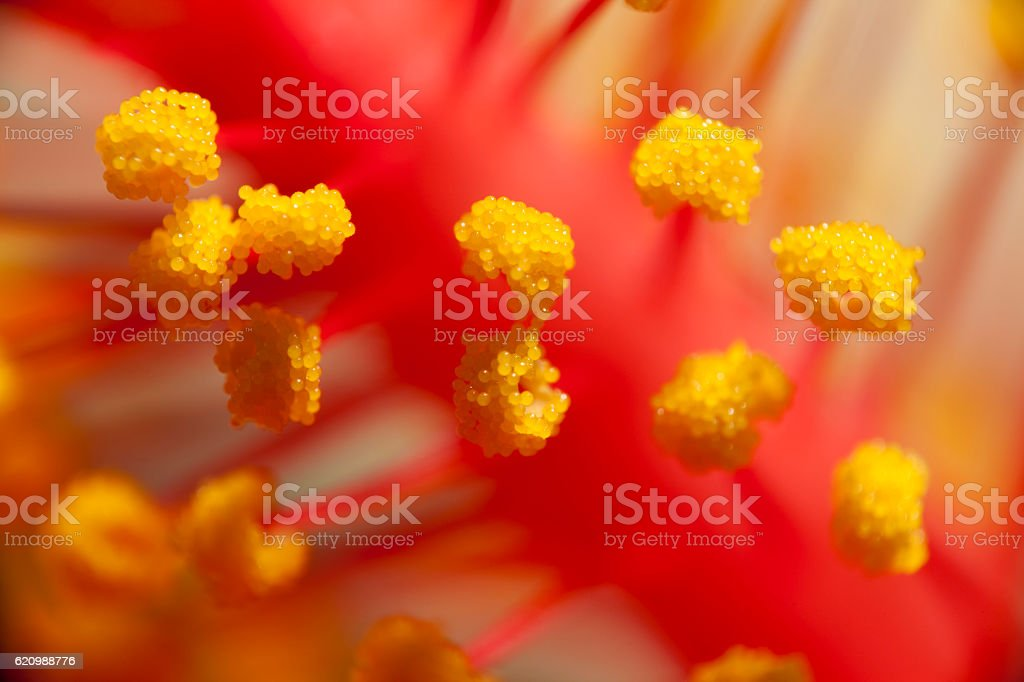 Hibiscus Stamens and Anther macro shot stock photo