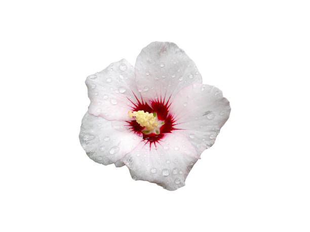 Hibiscus syriacus pale pink with deep red center rose of sharon red picture id903265966?b=1&k=6&m=903265966&s=612x612&w=0&h=alv73p7obufdkotnb4rtdtlx4url nnoa4aqzbqtudm=
