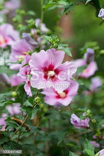 The National Flower of South Korea, Seoul Korea