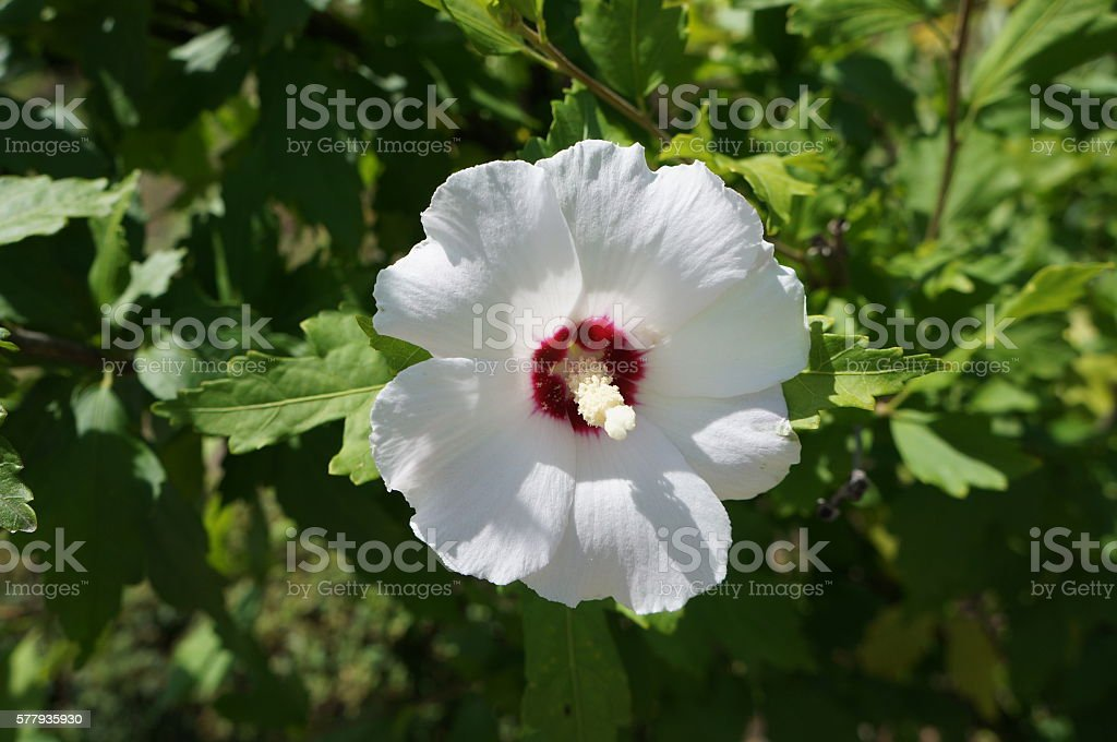 Hibiscus Syriacus White Rose Of Sharon Red Heart Stock Photo More