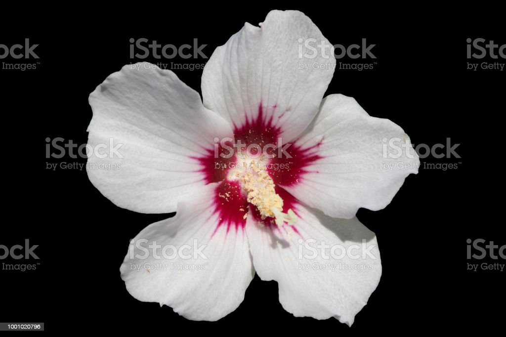 Hibiscus Syriacus White With Deep Red Center Rose Of Sharon Red