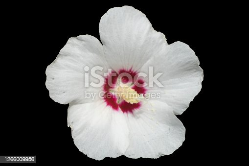 Hibiscus syriacus white with deep red center rose of Sharon 'Red Heart' flower isolated on black.
