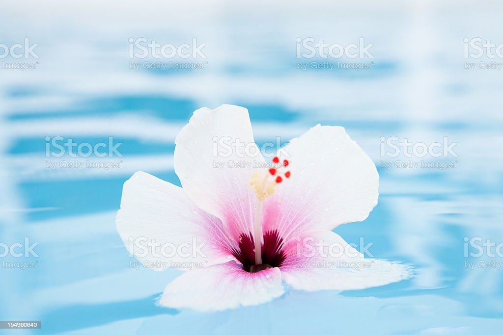 Hibiscus tropical flower floating on water stock photo