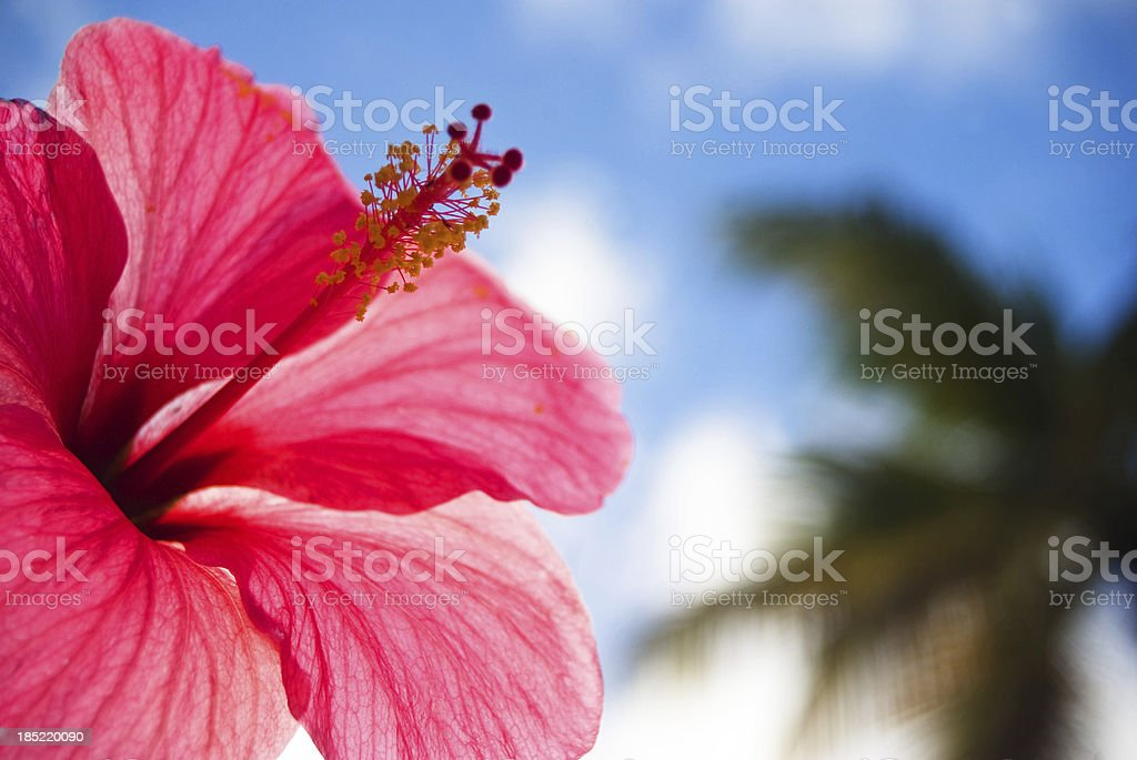 hibiscus tropical paradise royalty-free stock photo