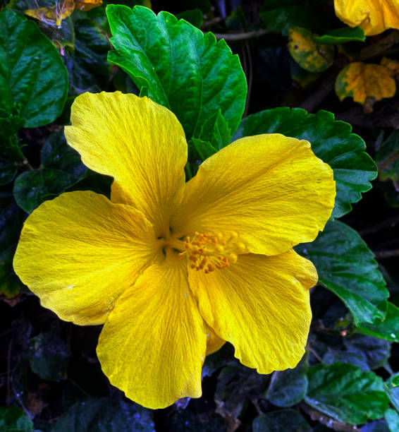 Hibiscus Yellow stock photo