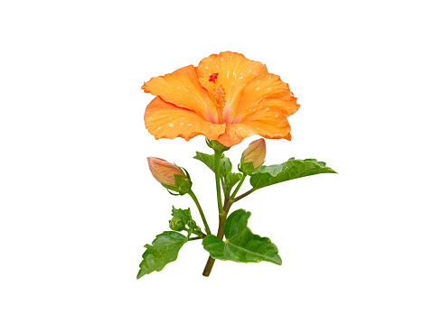Hibiscus yellow tropical flower and buds branch isolated on white. China rose plant. Malaysia national symbol.