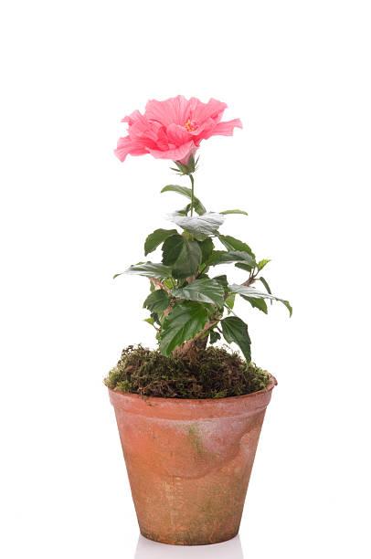 hibiskus flower in a pot - foderblad bildbanksfoton och bilder