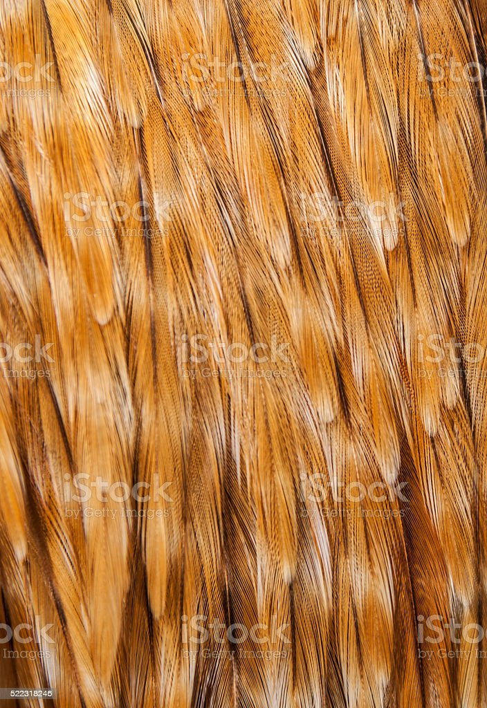 hicken Feathers Close-Up stock photo