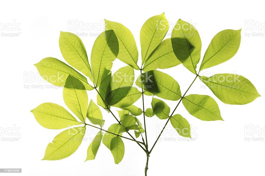 Hickory leaves royalty-free stock photo