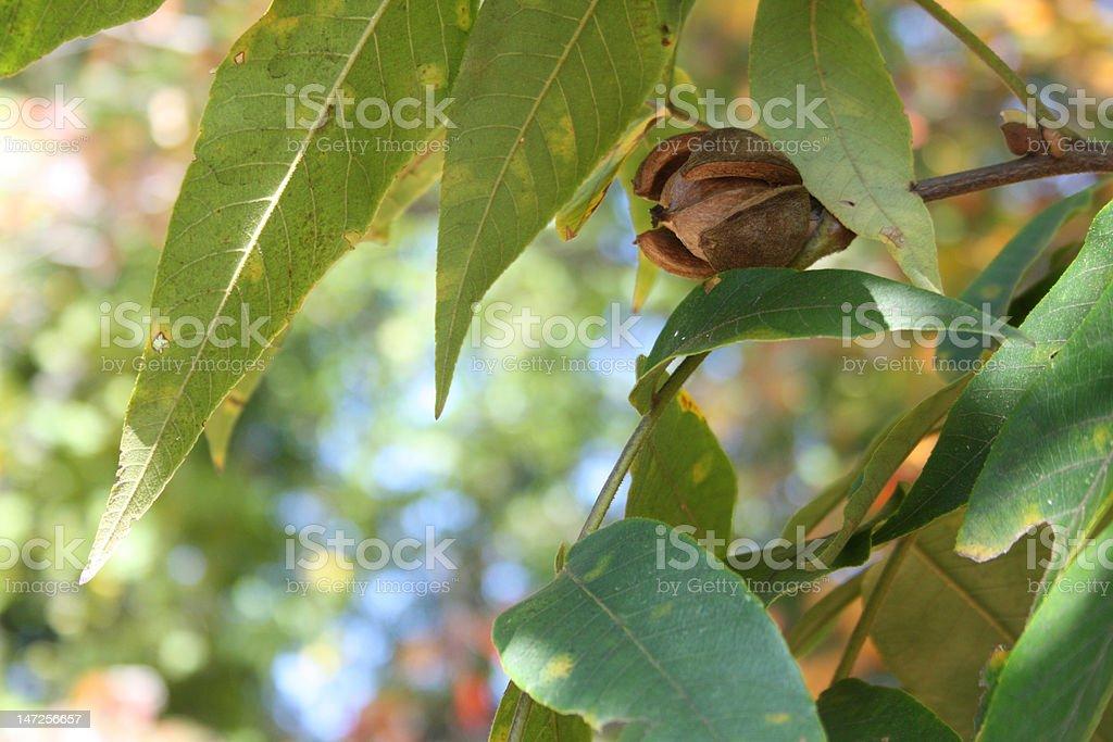 Hickory Nut stock photo