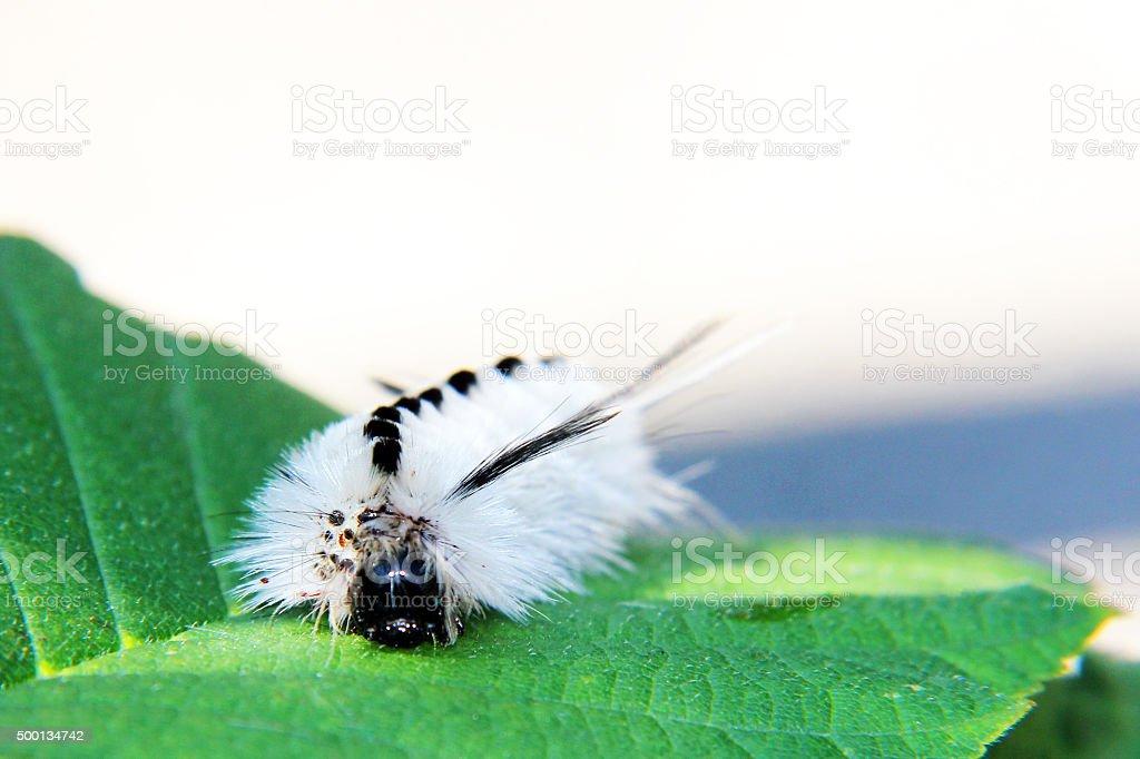 Hickory Tussock Caterpillar stock photo