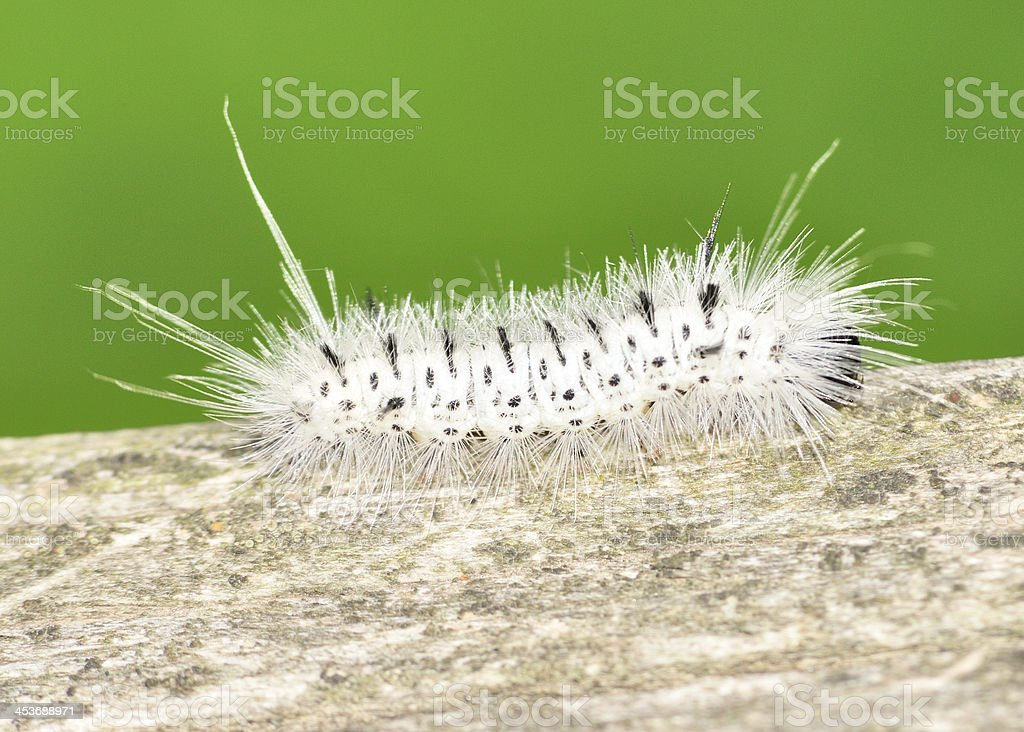 Hickory Tussock Moth Caterpiller stock photo