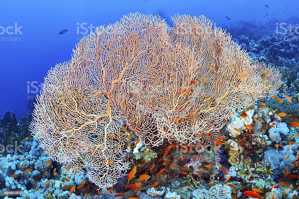 Hickson's fan coral royalty-free stock photo