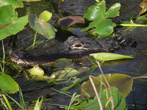Hidden alligator stock photo