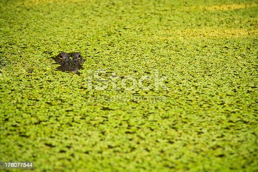An American Alligator floats in a marshland, looking straight at the camera.