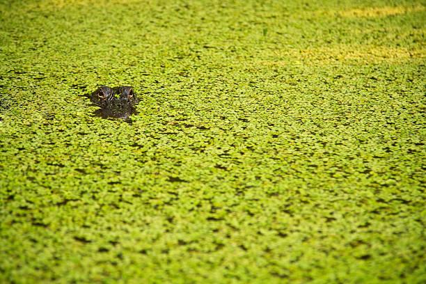 Hidden Alligator américain - Photo