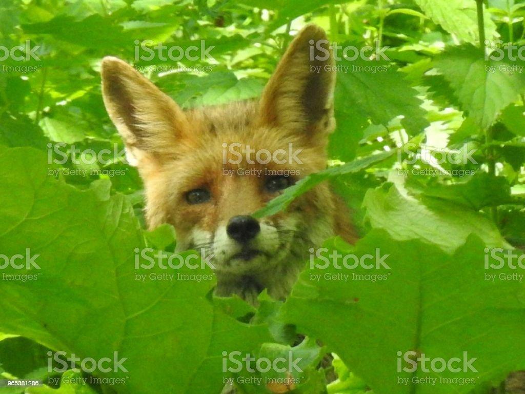 잎 사이에서 숨겨진 - 로열티 프리 0명 스톡 사진