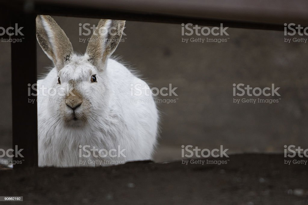 Hidden Bunny royalty-free stock photo