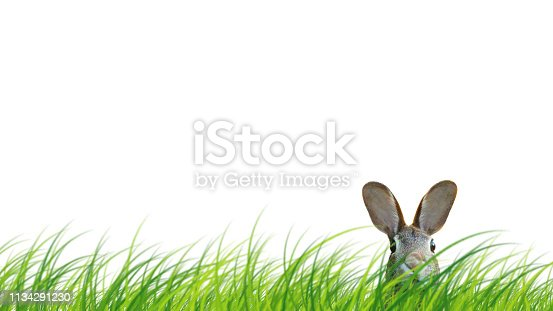 istock Hidden easter rabbit in a green meadow isolated on white background. 1134291230