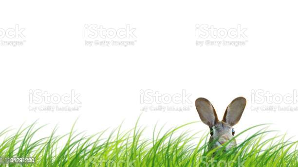 Hidden easter rabbit in a green meadow isolated on white background picture id1134291230?b=1&k=6&m=1134291230&s=612x612&h=gej q7yxaz5vtx93l7e ozz4j1 cnd7zzbsirko qns=