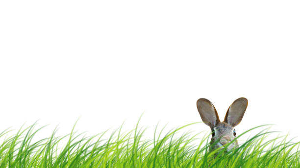 Hidden easter rabbit in a green meadow isolated on white background picture id1134291230?b=1&k=6&m=1134291230&s=612x612&w=0&h=qonjeyrpjf8uptch6cixr3x98tllyglepfizdccda9c=