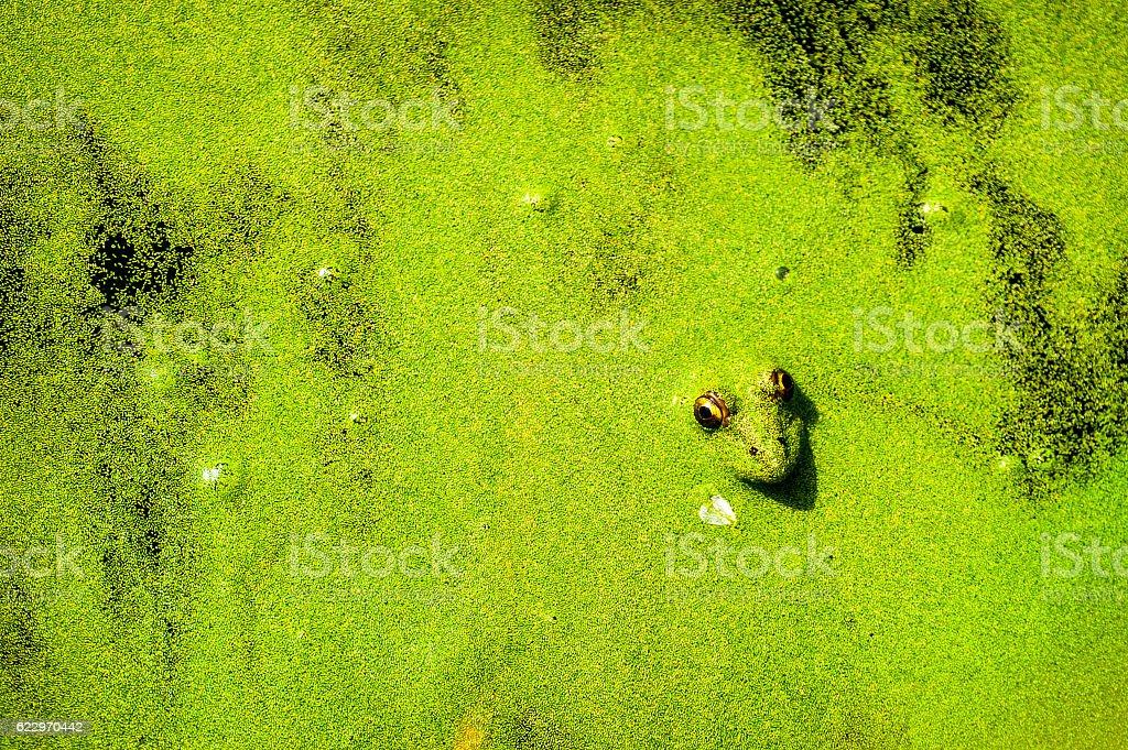Hidden green frog stock photo