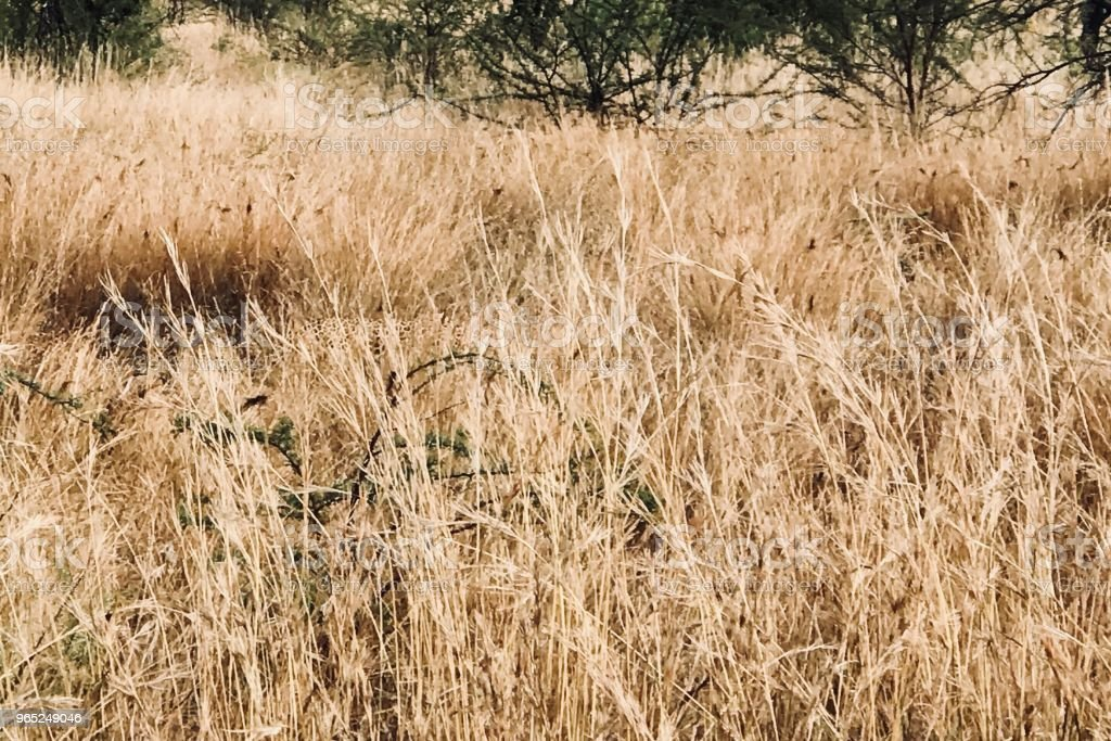 Hidden Leopard zbiór zdjęć royalty-free