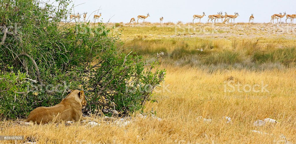 Hidden lioness and gazelles in Etosha NP stock photo