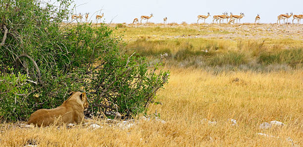 Hidden lioness and gazelles in Etosha NP A lioness hidden close to a waterhole checks a herd of springboks. ambush stock pictures, royalty-free photos & images
