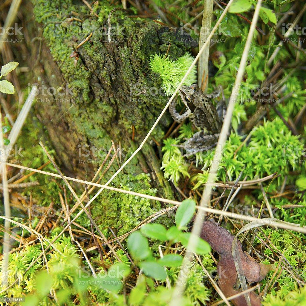 Hidden tree frog stock photo