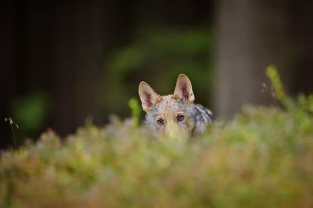 Hidden wolf in high grass inside forest stock photo
