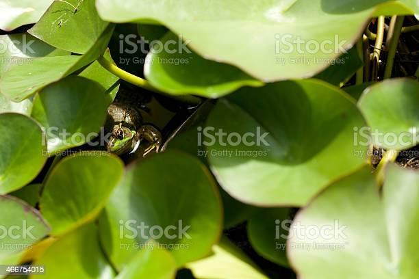 Photo of Hide And Seek Frog