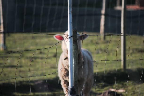 Hide and seek sheep stock photo