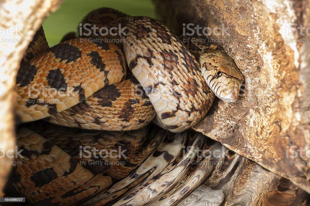 Hiding adult bullsnake stock photo
