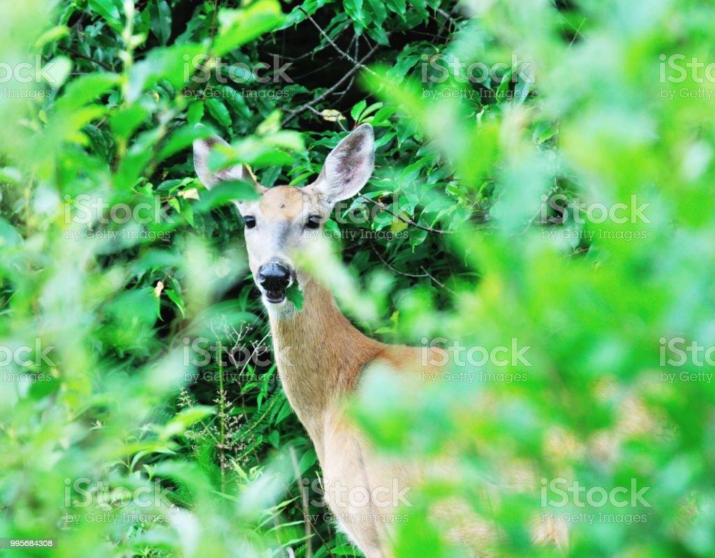 Verstecken Deer – Foto