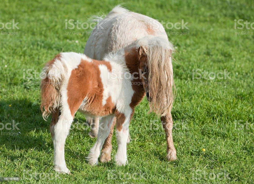 Hiding Falabella Foal stock photo