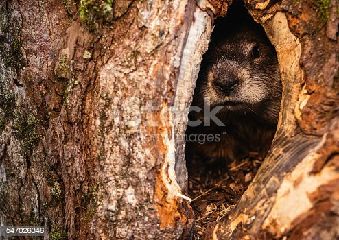 A groundhog peeks from a hole in the trunk of a massive chestnut tree.