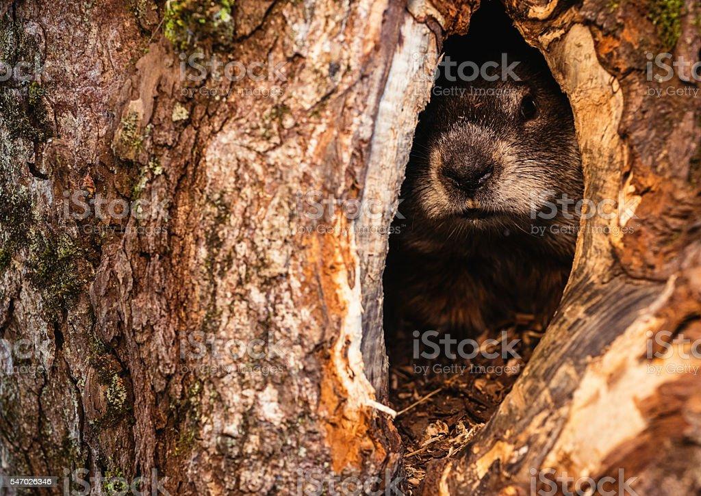 Hiding Groundhog stock photo