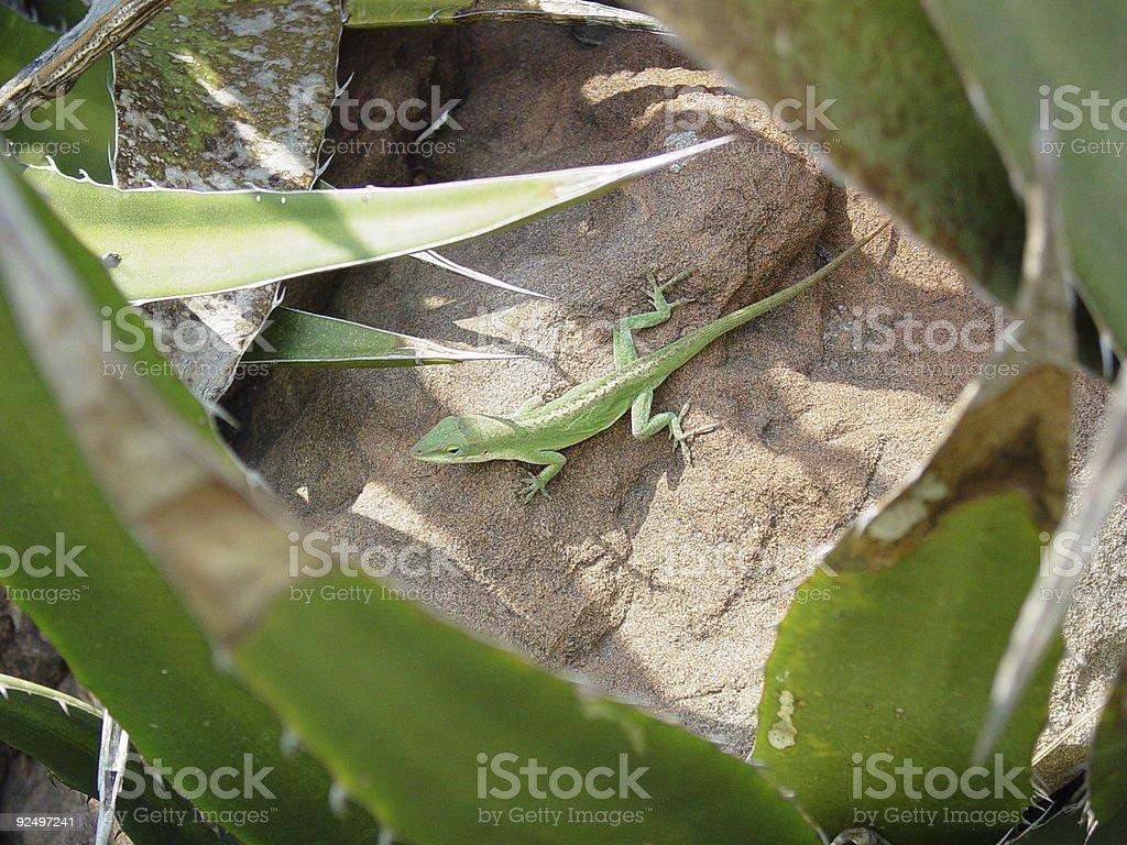 Hiding lizard royalty-free stock photo