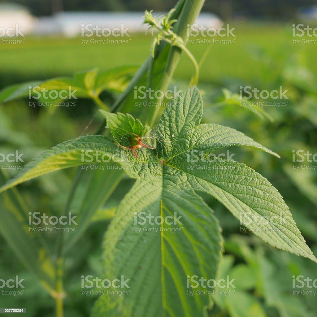 hiding spider stock photo