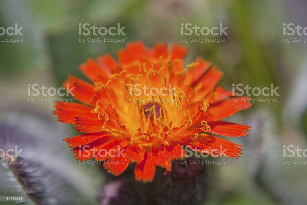 Hieracium aurantiacum stock photo
