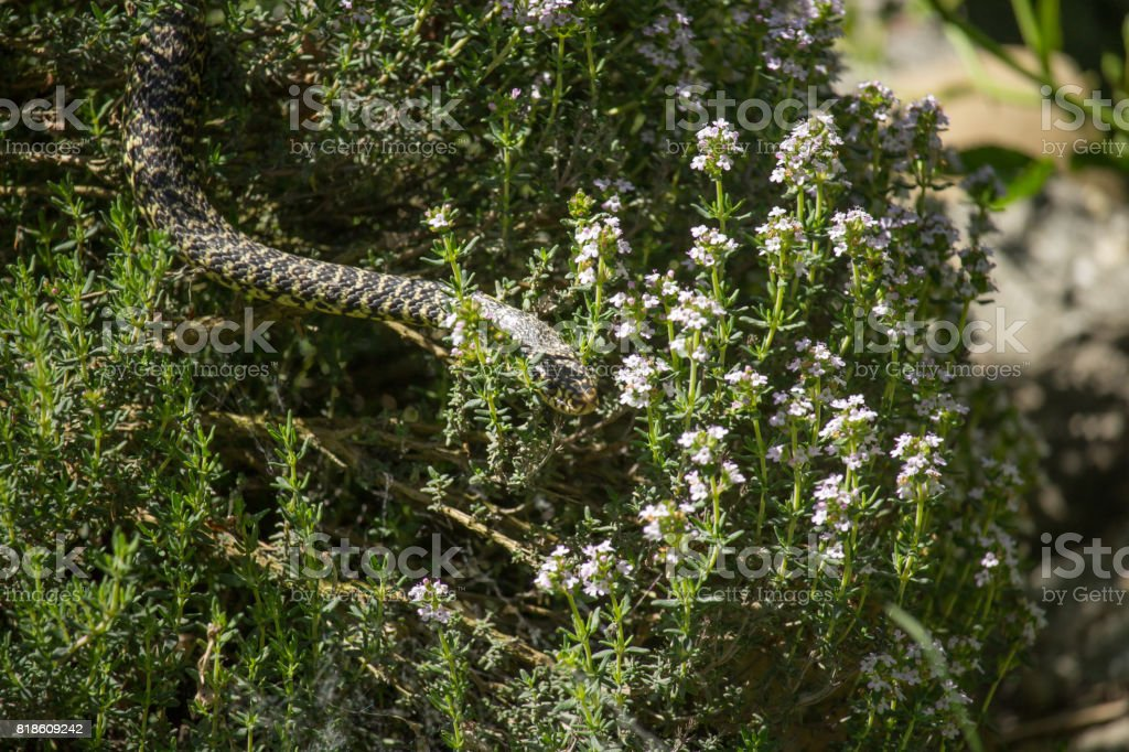 Hierophis viridiflavus stock photo