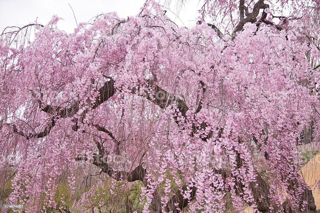 Higan Cherry Tree Stock Photo Download Image Now Istock