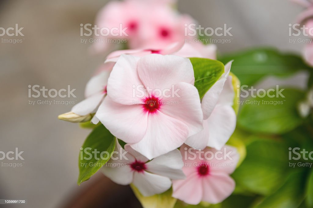 High Angle View Of Delicate Madagascar Periwinkle Rosy Periwinkle Or ...