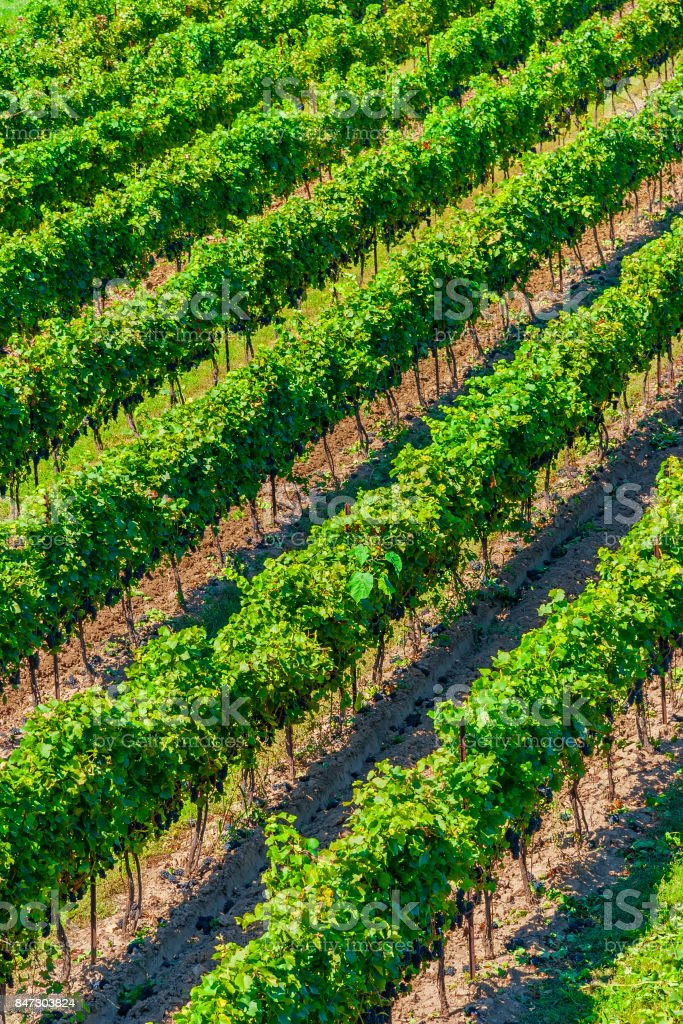 High Angle View of Diagonal Rows of Grape Vines in a Vineyard - foto stock