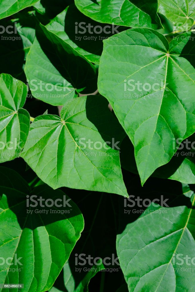 High angle view of empress tree leaf royalty-free stock photo