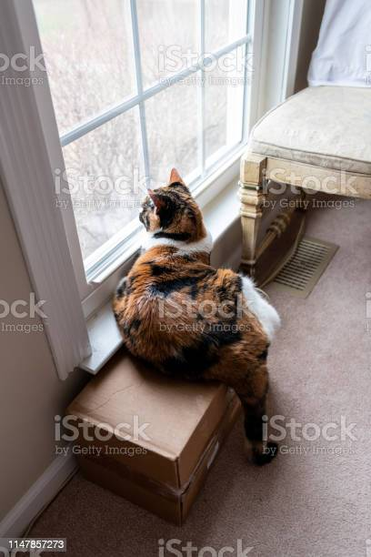 High angle view of female cute calico cat lying down by windowsill picture id1147857273?b=1&k=6&m=1147857273&s=612x612&h=xihll abftnqqkg5qhmdzyyoj7lzm9klhera0hgnd4u=